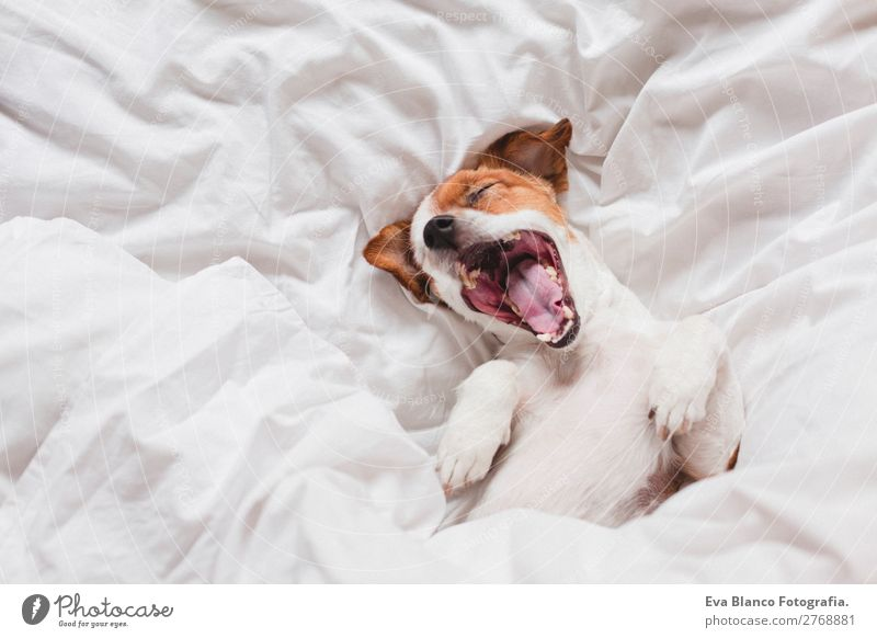 cute dog sleeping and yawning on bed, white sheets.morning Lifestyle Illness Relaxation Leisure and hobbies Winter House (Residential Structure) Bed Bedroom