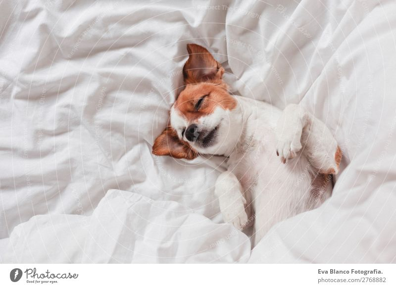 cute dog sleeping on bed, white sheets.morning Lifestyle Illness Relaxation Leisure and hobbies Winter House (Residential Structure) Bed Bedroom Animal Autumn