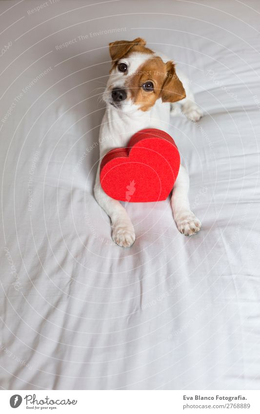 cute young small dog sitting on bed with a red heart Dog Beautiful White Red House (Residential Structure) Animal Joy Lifestyle Love Funny Feasts & Celebrations