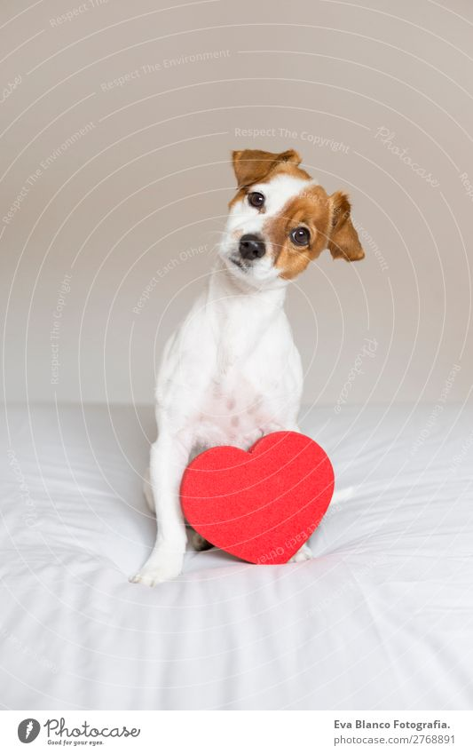 portrait of a cute dog sitting on bed with a red heart. Lifestyle Beautiful Leisure and hobbies House (Residential Structure) Bed Room Feasts & Celebrations