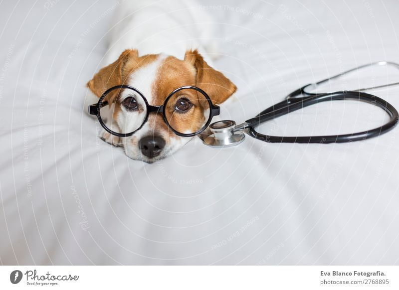 Portrait of a cute doctor dog sitting on bed. Dog Beautiful White House (Residential Structure) Animal Healthy Lifestyle Funny Health care Small Brown