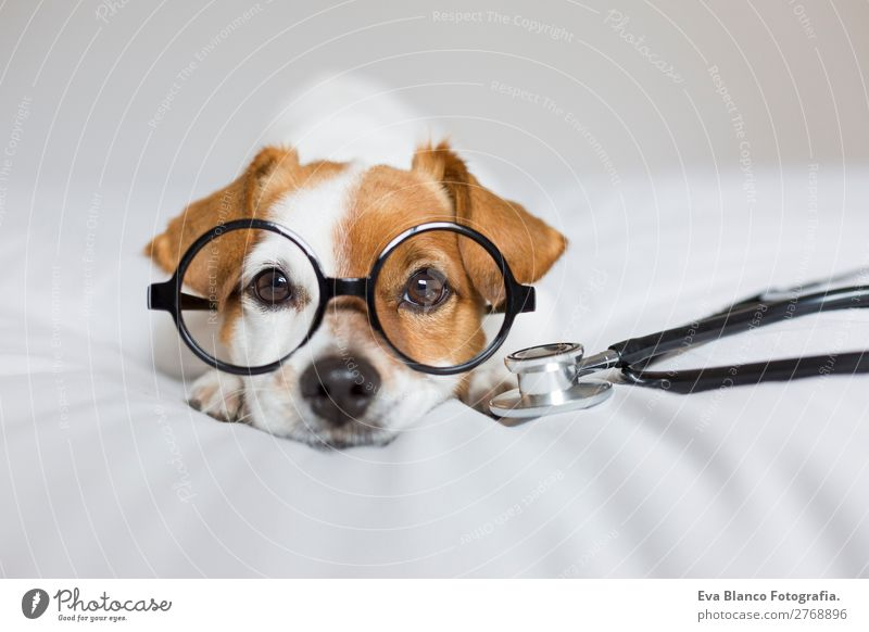 Portrait of a cute doctor dog sitting on bed. Dog Beautiful White Animal Healthy Lifestyle Funny Health care Small Brown Friendship Leisure and hobbies Room Sit