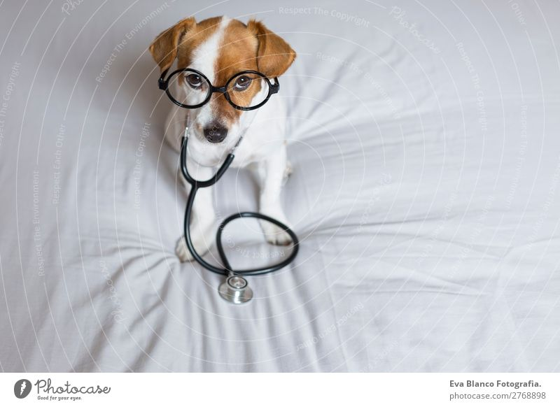 Portrait of a cute doctor dog sitting on bed. Dog Beautiful White Animal Healthy Funny Health care Small Brown Leisure and hobbies Sit Stand Cute Curiosity