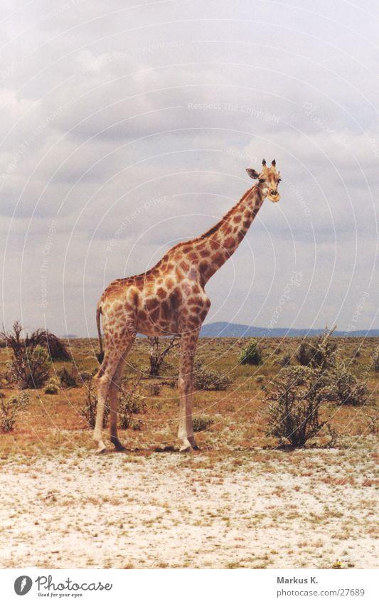 Africa Neck Colossus Namibia Giraffe Etosha pan