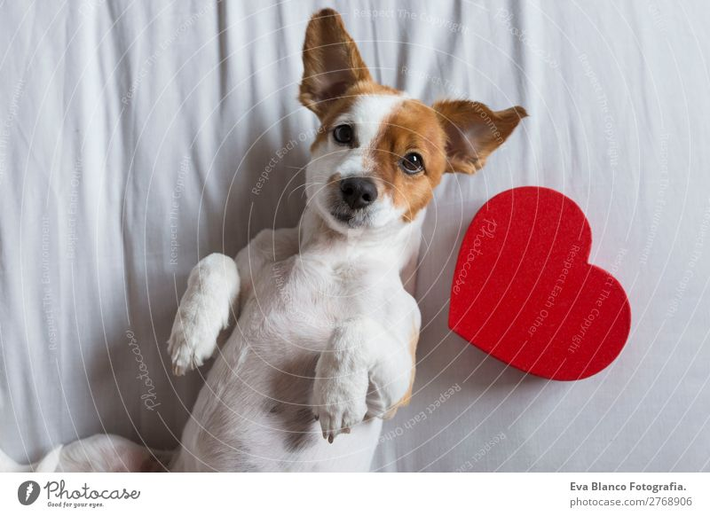 cute young small dog sitting on bed with a red heart. Dog Beautiful White Red House (Residential Structure) Animal Lifestyle Wood Love Natural Funny Happy