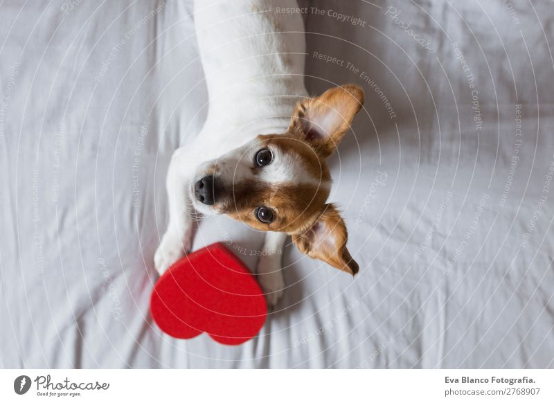 cute young small dog sitting on bed with a red heart Lifestyle Leisure and hobbies House (Residential Structure) Bed Room Feasts & Celebrations Valentine's Day