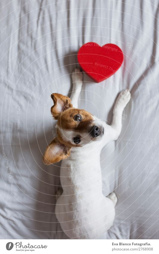 cute young small dog sitting on bed with a red heart Dog Beautiful White Red House (Residential Structure) Animal Lifestyle Wood Love Funny Happy