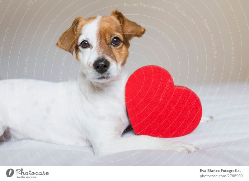 cute small dog sitting on bed with a red heart. Lifestyle Leisure and hobbies Flat (apartment) House (Residential Structure) Bed Room Feasts & Celebrations