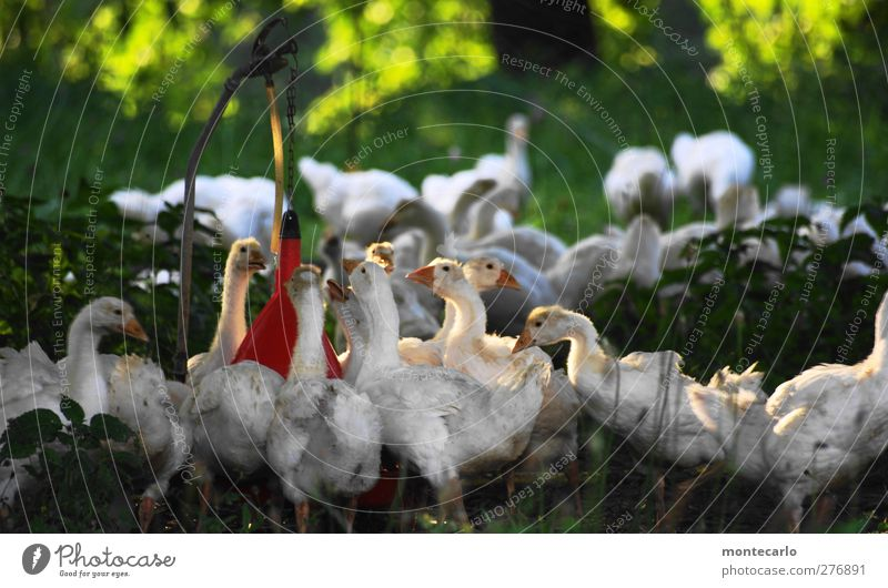 antagonistic Environment Nature Summer Beautiful weather Animal Farm animal Goose Group of animals Pack Baby animal Dirty Thin Authentic Together Cute Wild Soft