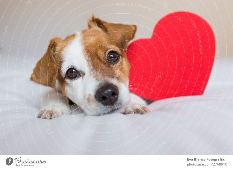 cute small dog sitting on bed with a red heart Dog White Red Animal Lifestyle Wood Love Funny Happy Feasts & Celebrations Small Brown Sit Heart Gift Romance