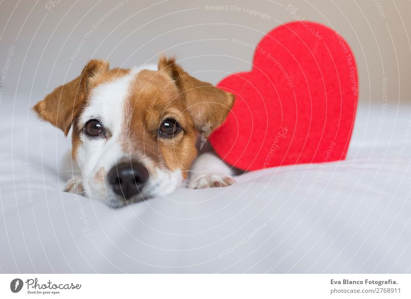 portrait of a cute dog resting on bed. Dog White Red House (Residential Structure) Relaxation Animal Lifestyle Love Natural Small Brown Think Friendship
