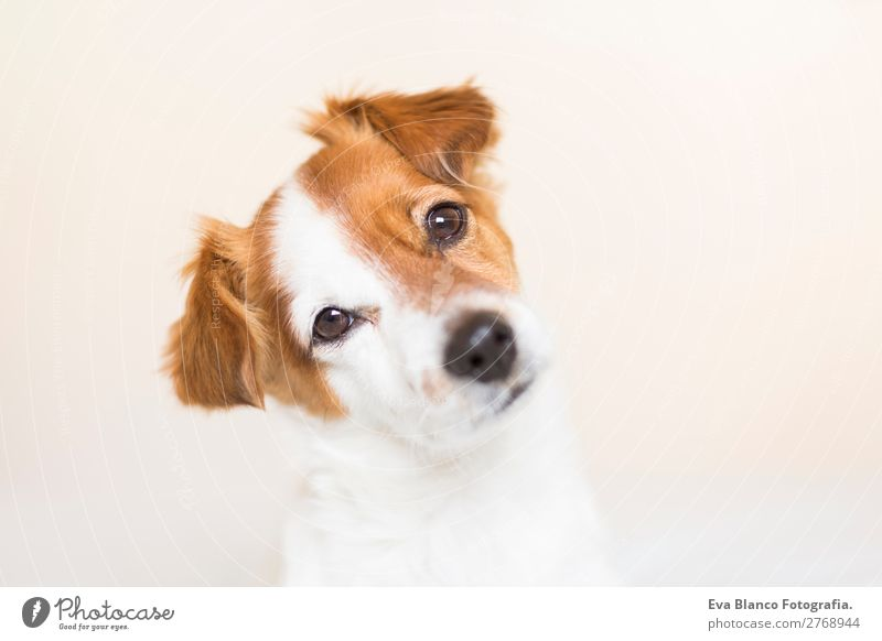 portrait of a cute dog on bed Dog White House (Residential Structure) Relaxation Animal Lifestyle Natural Brown Living or residing Leisure and hobbies Sit Cute