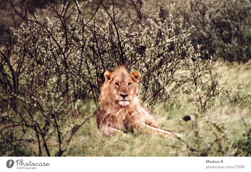 Cat Africa Wild animal Respect Big cat King Lion Claw Hunter Namibia Mane Land-based carnivore