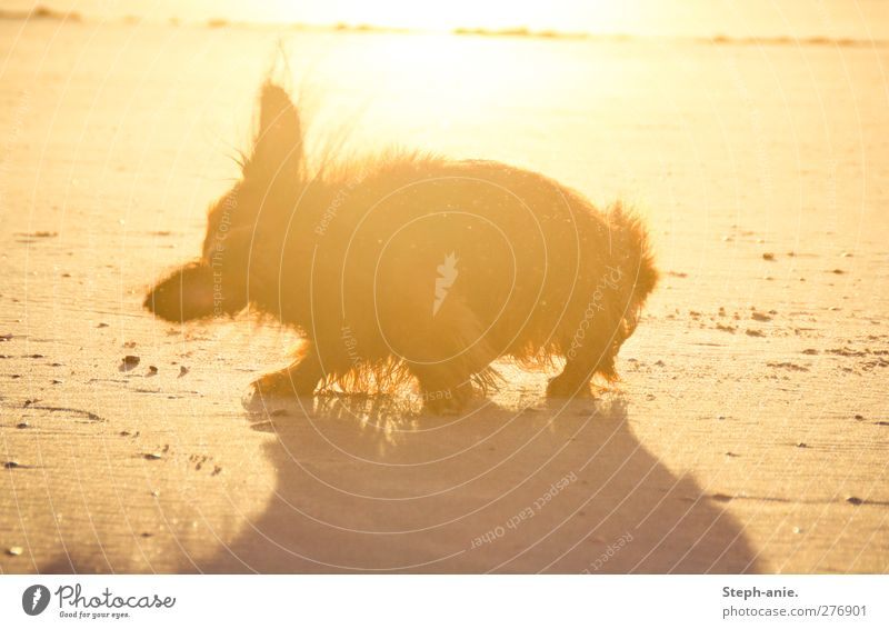 Dog Summer Sun Ocean Joy Beach Coast Happy Sand Swimming & Bathing Waves Wet Stand Drops of water Clean Lakeside
