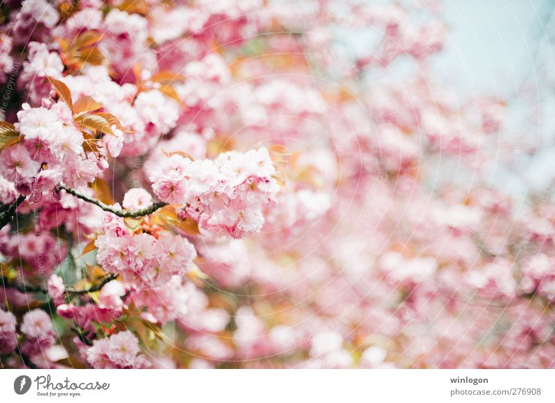 Beautiful Tree Summer Flower Love Spring Dye Blossom Garden Park Pink Illuminate Smiling Cleaning Touch To enjoy