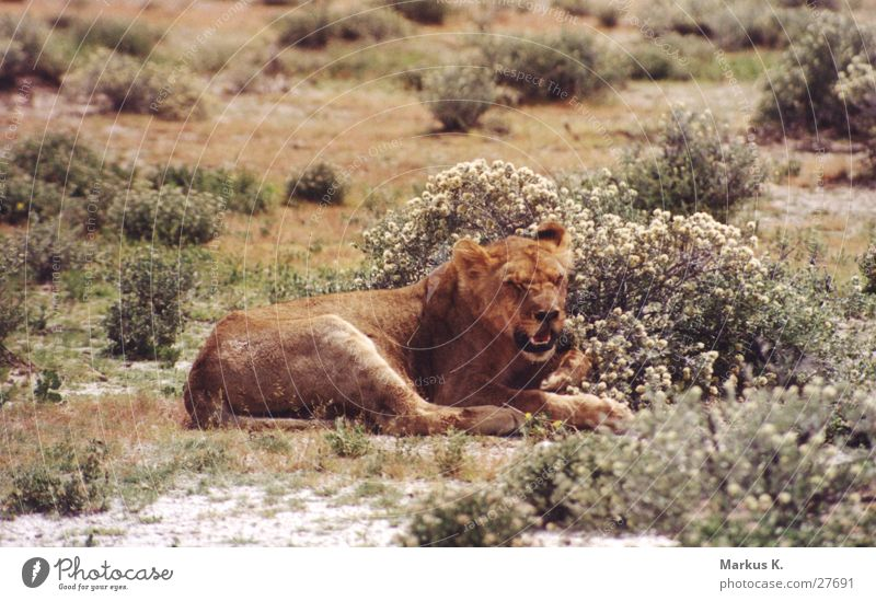 The Queen Lioness King Africa Land-based carnivore Big cat Cat Namibia Claw Hunter Wild animal furrowed Respect