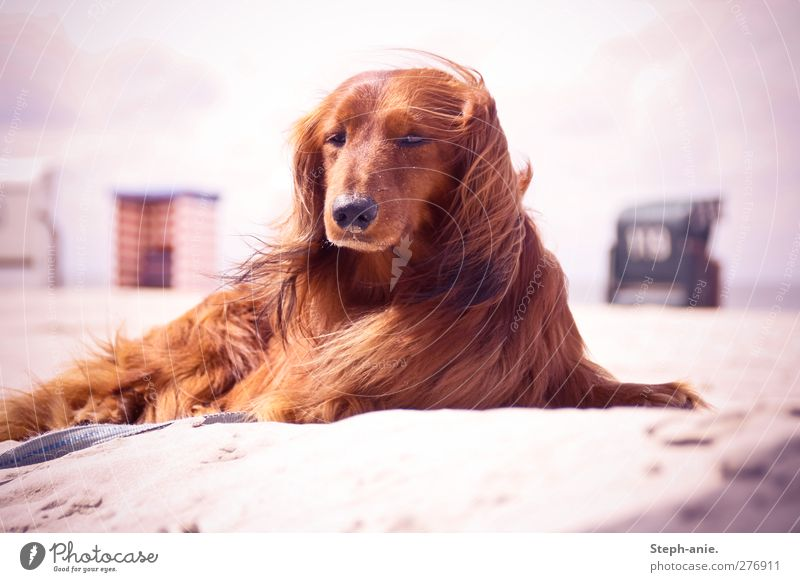 Hello Mr. Felix! Sand Clouds Beautiful weather Coast Beach North Sea Baltic Sea Pet Dog Observe Relaxation To enjoy Communicate Lie Vacation & Travel Elegant