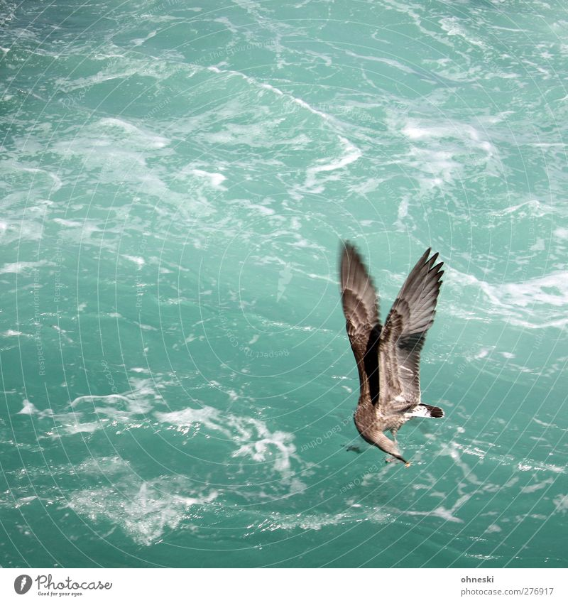 Catch! Elements Ocean Bird Seagull 1 Animal Flying Feeding Green Turquoise Wing Prey Colour photo Exterior shot Copy Space left Copy Space top Animal portrait