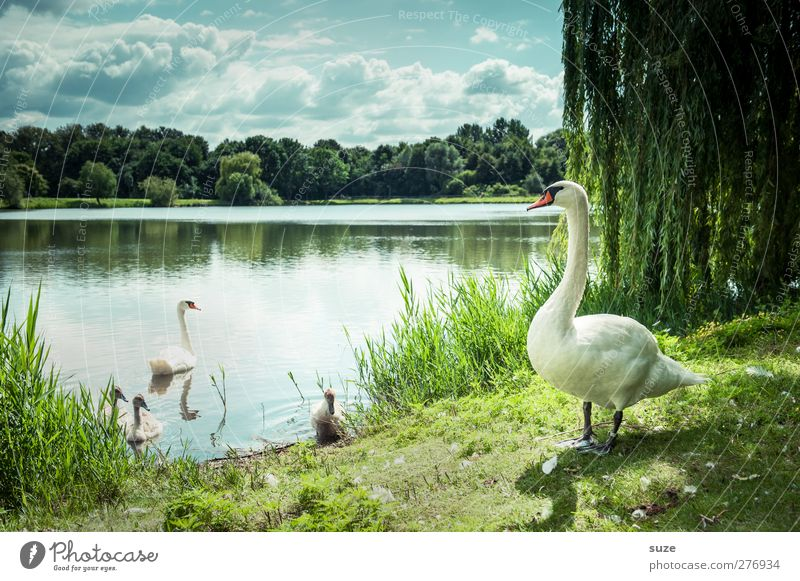 Cheffe has everything in view* Environment Nature Landscape Animal Water Sky Clouds Summer Beautiful weather Meadow Lakeside Wild animal Bird Swan Animal family