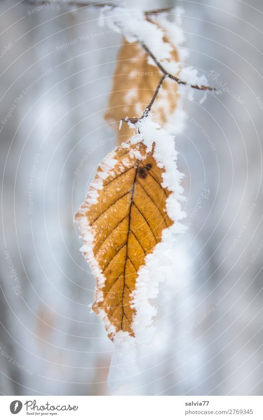 Plant Tree Leaf Calm Forest Winter Autumn Environment Fresh Ice Frost Twig Hoar frost Beech leaf