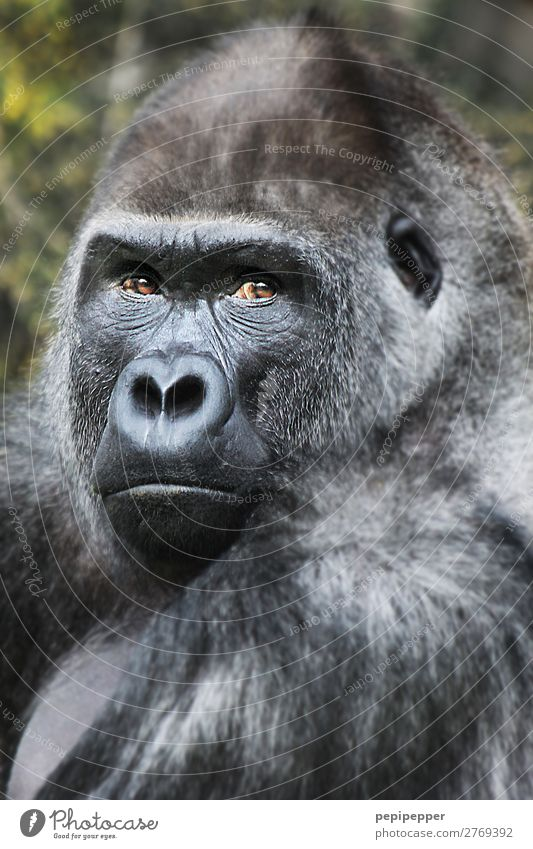 gorilla Animal Wild animal Monkeys Gorilla 1 Observe Threat Zoo Subdued colour Exterior shot Day Animal portrait Looking Looking into the camera Forward