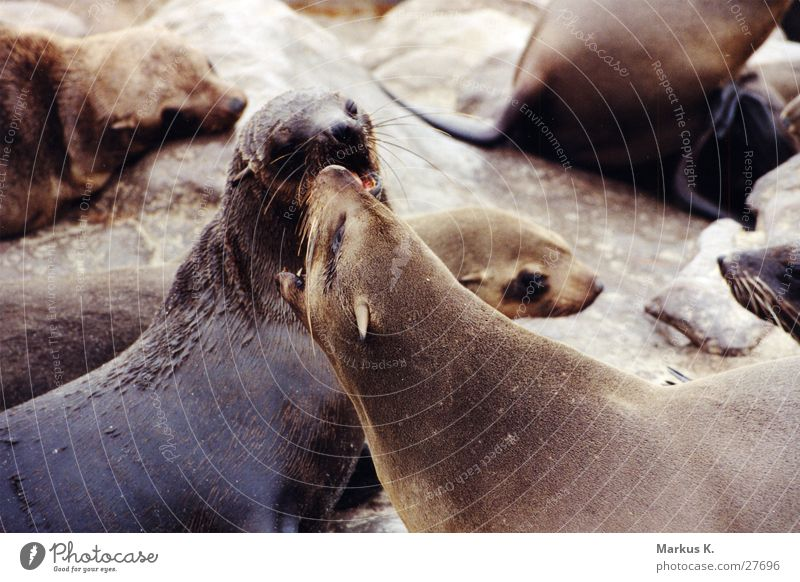 power struggle Seals Seal colony Power struggle Cape fur Seal Threaten Argument dispute over squares Set of teeth Bite Fight