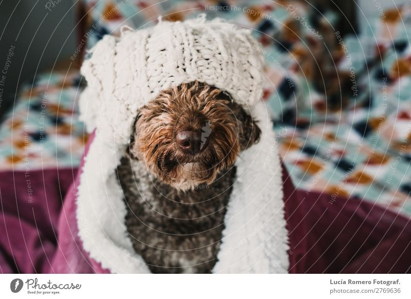 Brown dog covered with a pink blanket. Lifestyle. Joy Beautiful Relaxation Bedroom Friendship Animal Pet Dog Love Friendliness Funny Cute Safety (feeling of)