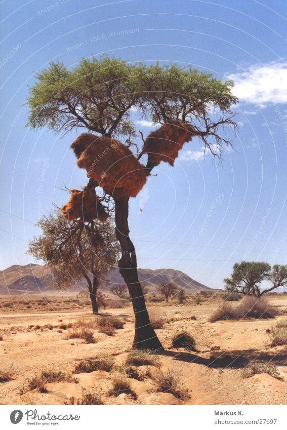 Settler Weaverbird Nest Tree Semi-desert Society weaver bird voglenest Domicile