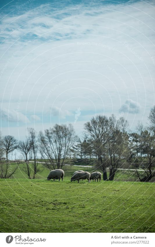 Sky Nature Green Summer Plant Animal Clouds Landscape Environment Grass Spring Field Wild Group of animals Beautiful weather Sheep