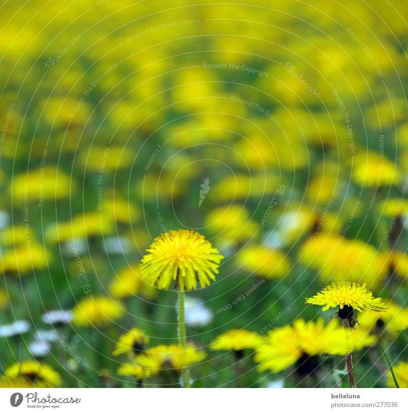 Hiddensee. Endless yellow vastness. Environment Nature Plant Spring Flower Grass Blossom Wild plant Garden Park Meadow Yellow Green Dandelion Dandelion field