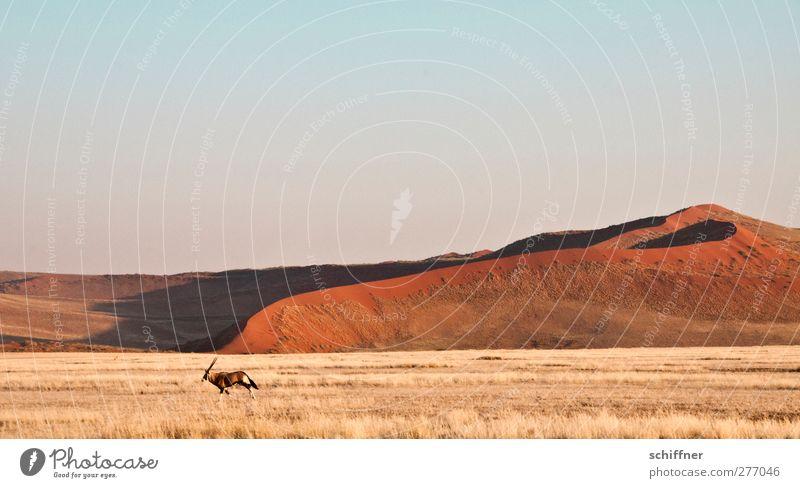 Dekoratirves Rummrennen in front of red dune I Nature Landscape Animal Wild animal 1 Running Red Desert Steppe Dune Beach dune Grass Grassland Freedom