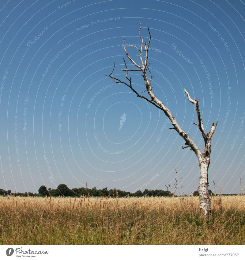 steadfast... Environment Nature Landscape Plant Cloudless sky Summer Beautiful weather Warmth Tree Grass Foliage plant Agricultural crop Birch tree Grain Field