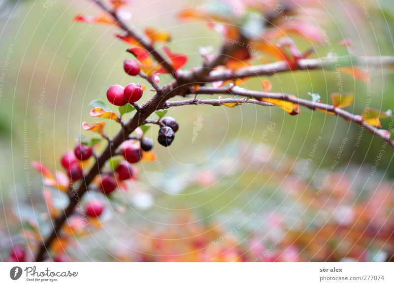 autumn colouring Environment Nature Plant Autumn Bushes Leaf Fruit Branch Faded Growth Brown Green Red Grief Sadness Autumnal Autumnal colours Seasons November