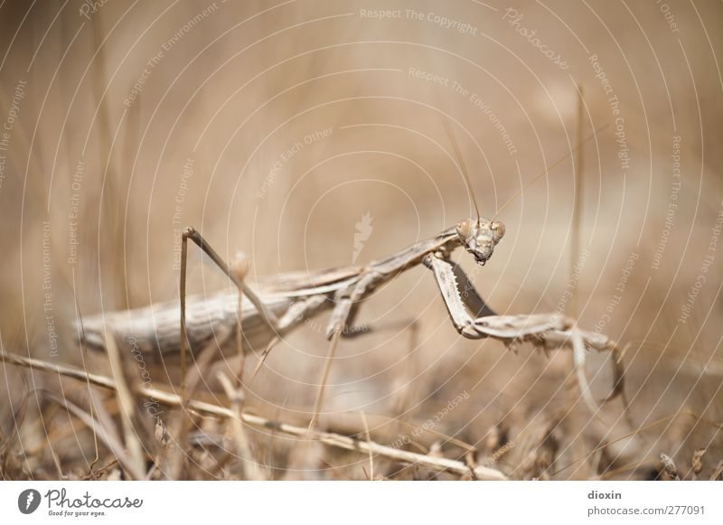 The Seeress -1- Environment Nature Earth Grass Animal Wild animal Praying mantis Insect Mantids Observe Exceptional Creepy Natural Seldom Threat Colour photo