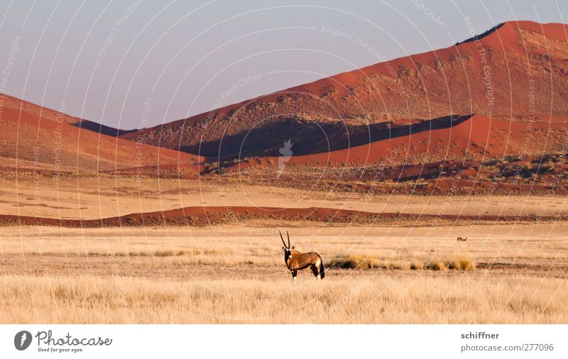 Decorative standing around in front of red dune again Environment Nature Landscape Animal Cloudless sky Desert Wild animal 1 Stand Red Dune Beach dune Steppe
