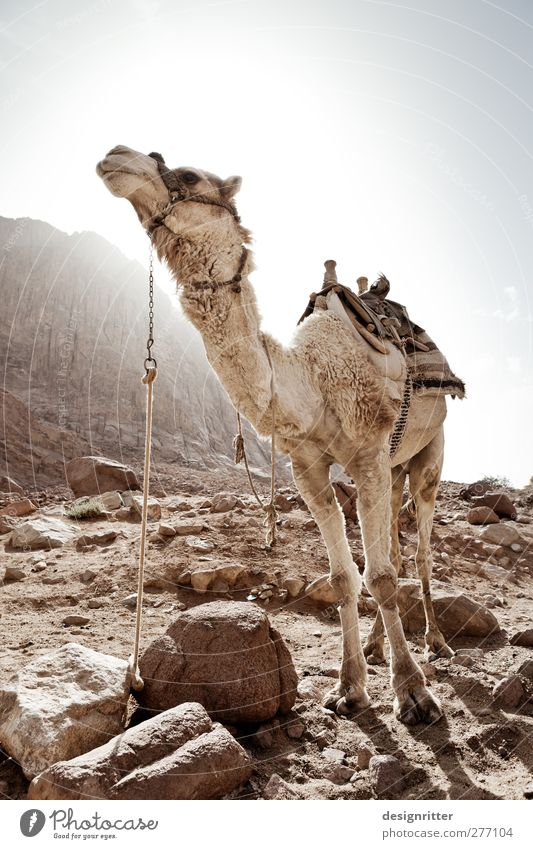 beauty ideal Vacation & Travel Tourism Adventure Far-off places Safari Summer Summer vacation Mount Sinai Sinai peninsula Egypt Asia Means of transport