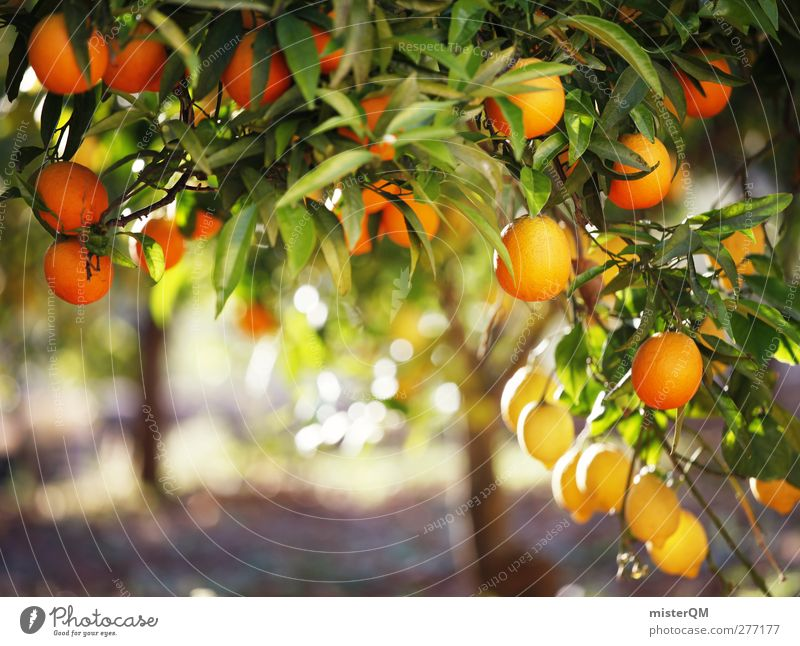 Tree Leaf Healthy Orange Fruit Esthetic Many Mature Ecological Mediterranean Vegetarian diet Tropical fruits Vitamin C Orange tree Orange plantation