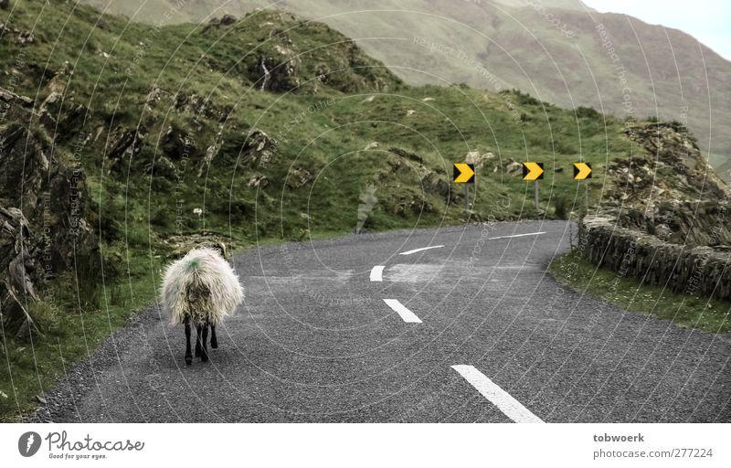 leftTraffic Grass Moss Hill Rock Deserted Transport Traffic infrastructure Road traffic Street Lanes & trails Road sign Curve Animal Farm animal Sheep 1 Arrow