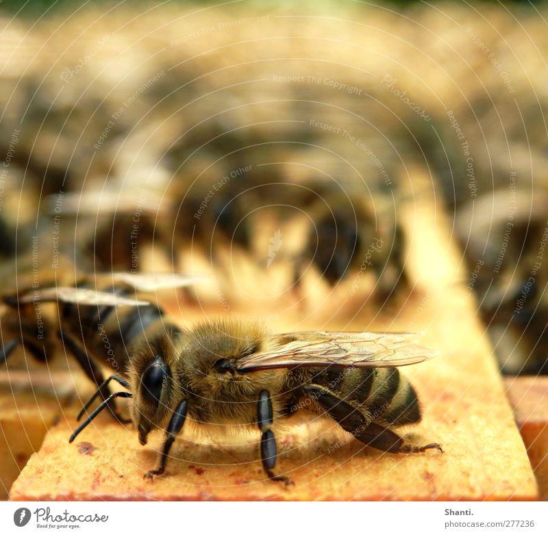 soo must bee! Nature Animal Farm animal Wild animal Bee Animal face Wing Pelt 1 Flock Wood Stand Fragrance Authentic Near Smart Soft Brown Yellow Orange Black