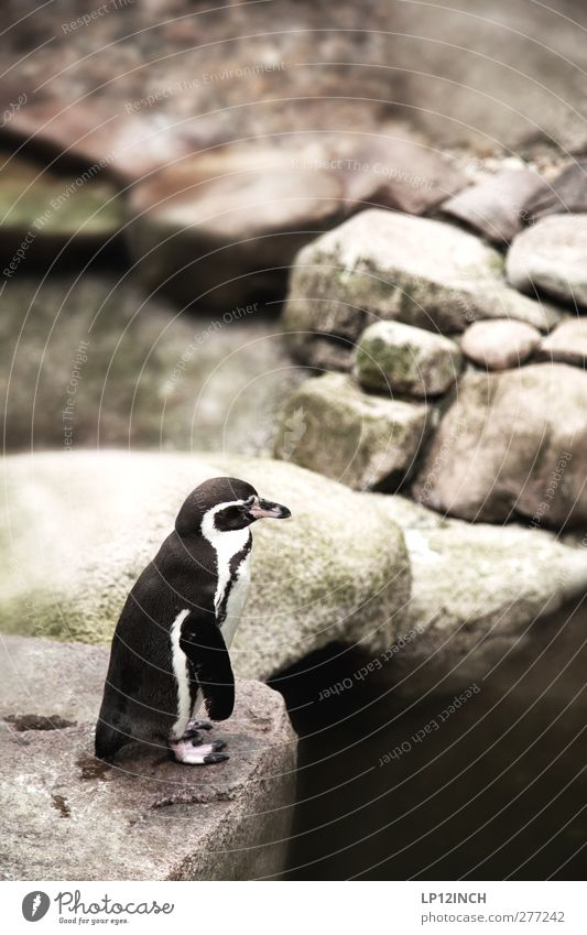 Kowalski. Vacation & Travel Tourism Trip Nature Coast Animal Wild animal Zoo Penguin 1 Stone Looking Dream Exceptional Exotic Small Serene Adventure Bird