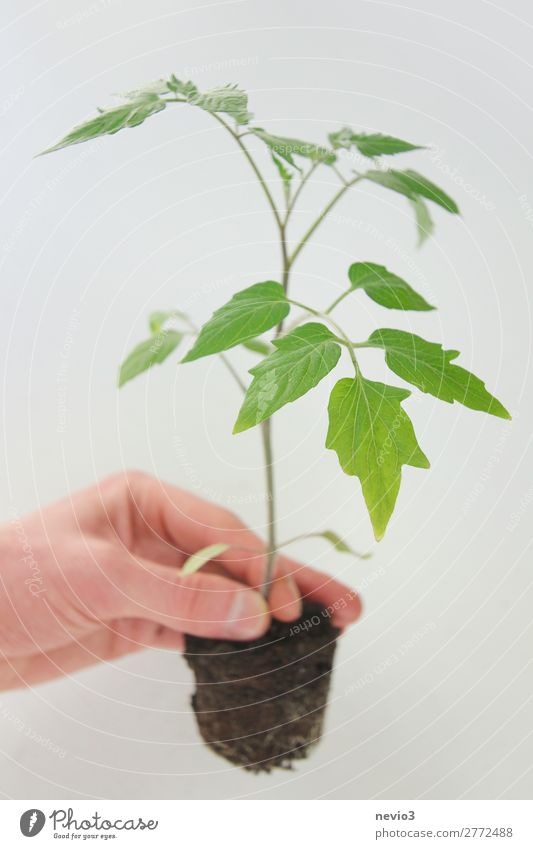 repotting Environment Plant Foliage plant Agricultural crop Pot plant Garden Growth Natural Beautiful Green Spring fever Life Rescue Change Tomato