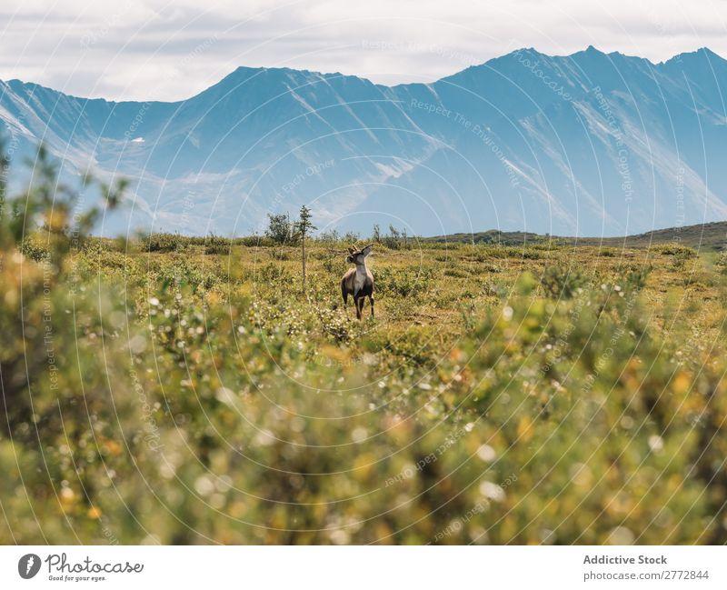 Deer in the wild Wild Nature Mountain terrain prairie Grassland Landscape Relaxation Natural Wilderness Dune Lanes & trails Remote tranquil Forest Adventure