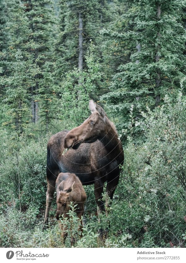 Moose with young animal Calf Forest Nature Elk Wild Brown Emotions