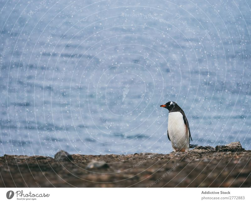 Penguin near the sea Coast Ocean Animal Wild Sunlight Nature Water Vacation & Travel marine Pebble Beach wildlife Bird Natural Cold coastal national Wilderness