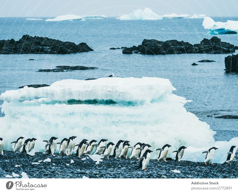 Flock of penguins walking on snow Penguin Coast Snow polar Winter North Nature wildlife Cold Ocean Group Beauty Photography Climate Natural Wild Water