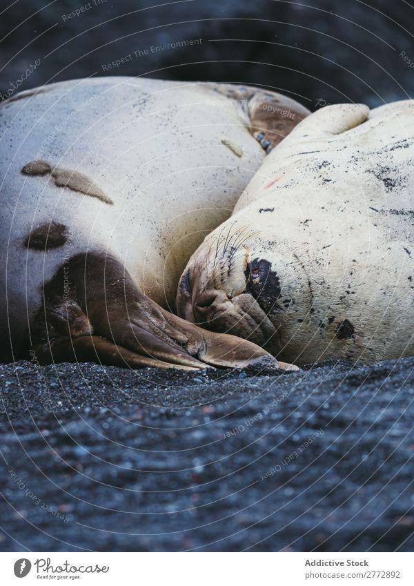 Seals sleeping on shore Coast wildlife Nature Sand fauna Ocean marine Animal Mammal Wild coastal North Resting Beach Landscape Natural Tourism Exterior shot