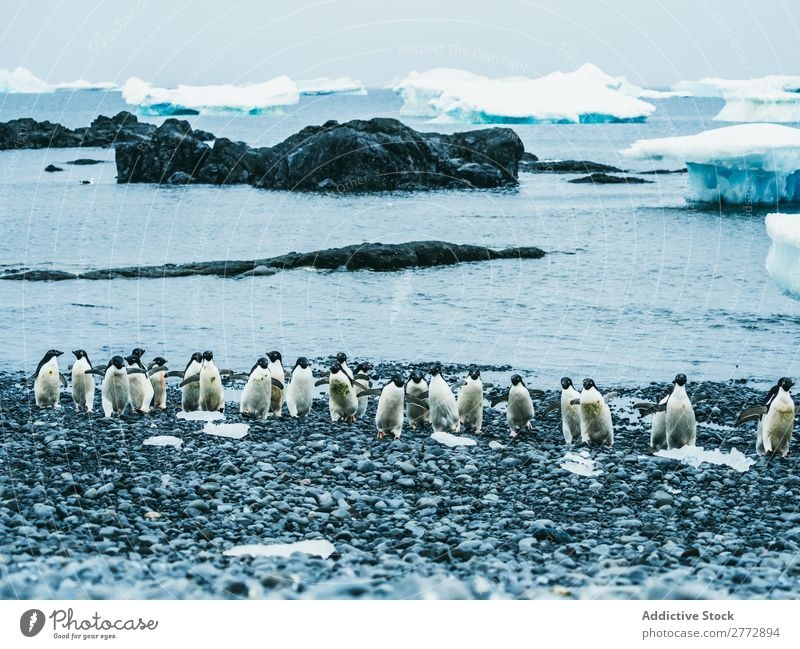 Flock of penguins walking on snow Penguin Coast Snow Winter North Nature Cold