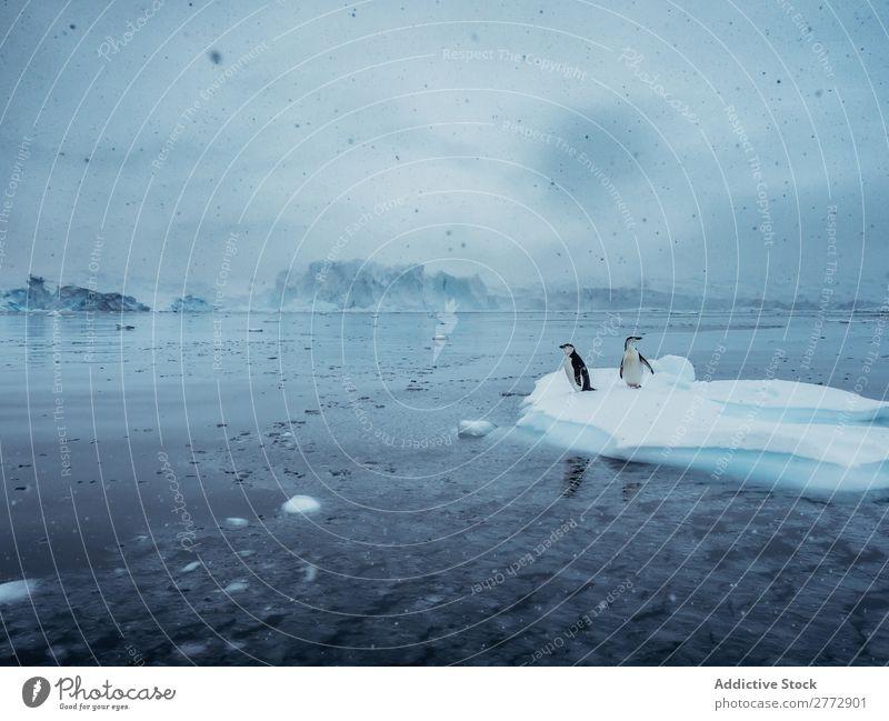 Penguins on glacier Ocean Glacier Landscape Environment Beauty Photography Bird Water Snowfall Nature polar North The Arctic Vacation & Travel Wild marine