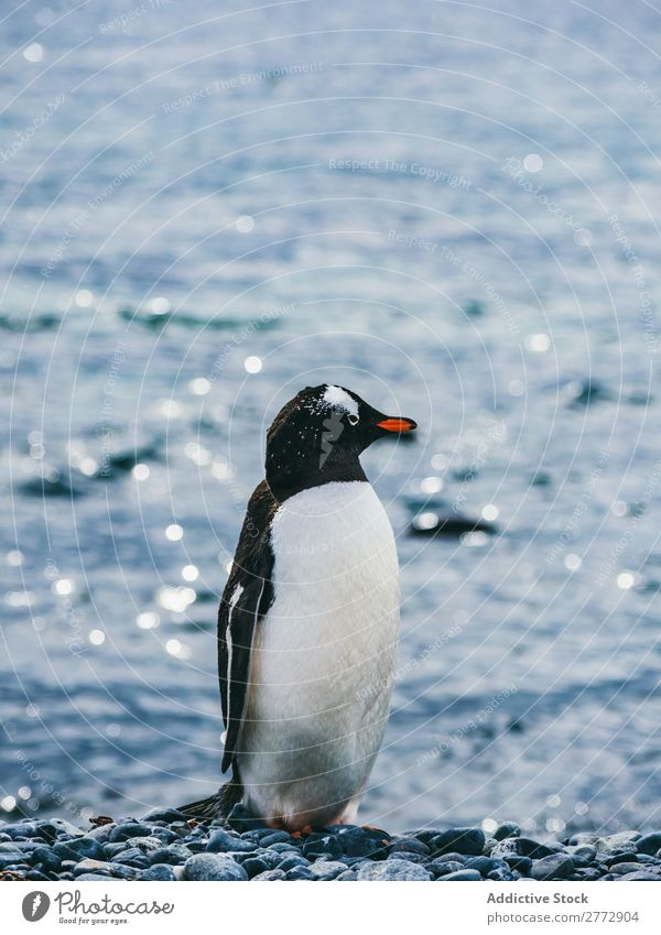 Penguin on background of sea Coast Ocean Animal Wild Sunlight Nature Water Vacation & Travel marine Pebble Beach wildlife Bird Natural Cold coastal national