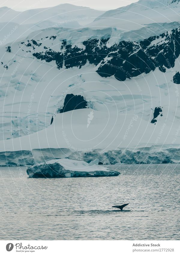 Whale swimming icy ocean Ocean Glacier Landscape Animal Environment Water Nature polar North Global The Arctic Vacation & Travel Dive Wild marine Destination